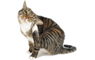 10 signs of fleas in cats